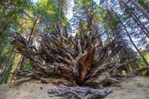 A fallen sequoia tree at Yosemite National Park California