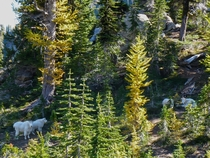 A family of Mountain Goats at Esmeralda Basin Washington