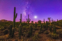 A family of Saguaros during twilight in southern Arizona
