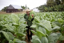 A farmer carries a bundle of freshly harvested tobacco leaves through a field on a plantation in Pinar del Rio Cuba