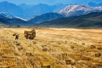 A farmer harvests crops in a field in Yili Xinjiang Autonomous Region China China Daily