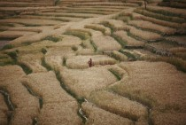 A farmer harvests wheat at the fields in Bhaktapur Nepal