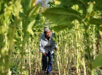 A farmer walks through rows of tobacco crops at a farm in Batac town Ilocos norte province Philippines