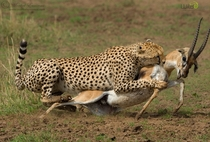 A female cheetah takes down a Thomsons Gazelle in the Mara Triangle Kenya