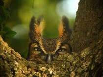 A female Great Horned owl on her nest in Louisiana by Dennis Demcheck