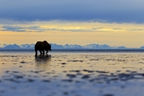 A female grizzly bear patrolling the beaches of the Greater Lake Clark National Park area with Alaskas ubiquitous mountains providing an iconic backdrop across the strait Andy Skillen
