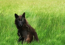 A female northwestern wolf Canis lupus occidentalis stands out against the green grass field Amy Bell