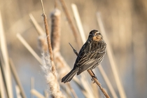 A female Red-winged Blackbird Agelaius phoeniceus at Fermilab