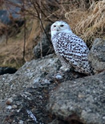 A Female Snowy Owl Bubo Scandiacus landed near my office today