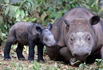 A female Sumatran rhino named Ratu walks with her newborn calf at Kambas National Park in Lampung Indonesia