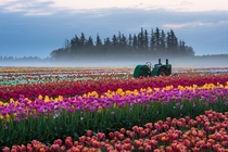 A field of tulips in Oregon the United States by Piriya Wongkongkathep