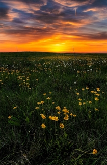A field of wildflowers in Grasslands National Park Saskatchewan