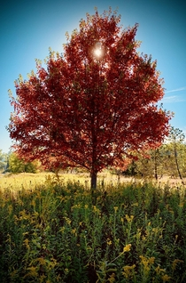 A fiery tree - New Cumberland PA