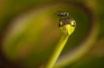 A Fly on the head of a Vine Snake