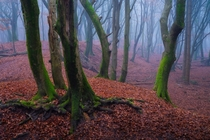 A foggy morning in the Forest of the Dancing Trees yesterday in The Netherlands It looked very scary x