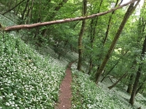 A forest full of wild garlic southern Germany