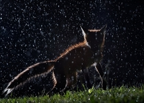 A fox dancing in the rain