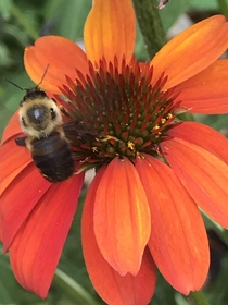 A friend on a Coneflower Echinacea Asterales