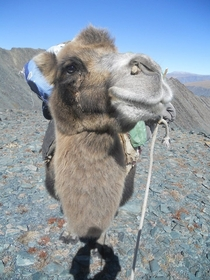 A friendly Mongolian camel