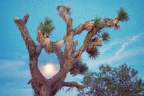 A full moon caught between branches Joshua Tree CA