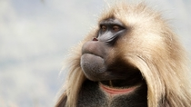 A Gelada baboon I met in Simien mountains Ethiopia