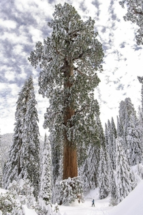 A Giant Sequoia Sequoiadendron giganteum The worlds largest privately owned giant sequoia forest Alder Creek in the Southern Sierra of California has just been preserved by a  purchase by a Bay Area conservation group Photo by Victoria Reeder Save the Red