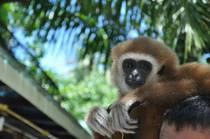 A Gibbon we saw during our trip to Phuket Thailand x