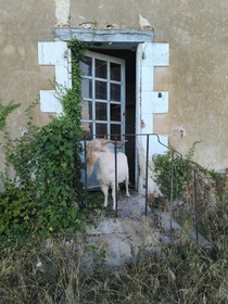 A goat wandering in an abandoned building of ferme de la Briche  the first farm-factory complex mid th century in Hommes France