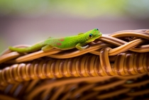 A Gold Dust Day Gecko Phelsuma laticauda hanging out on a wicker chair in Hawaii