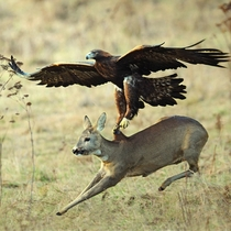 A Golden eagle trying to fly off with a Roe deer