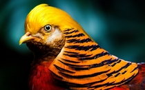A Golden Pheasant  Photographed by Brandn