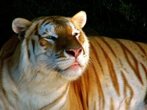 A golden tiger golden tabby tiger or strawberry tiger