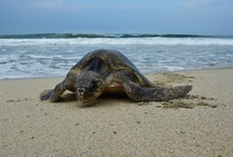 A Golfina sea turtle arrives to lay eggs at Morro Ayuta Beach state of Oaxaca Mexico on September   Photo credit AFP Photo  Ronaldo Schemidt