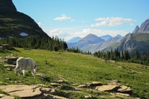 A good day to be a Mountain Goat in Glacier NP