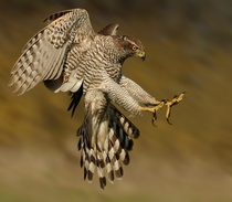 A Goshawk about to take its prey