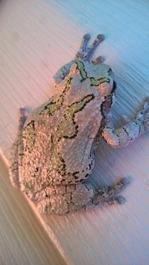A gray tree frog on my back deck Southern Missouri