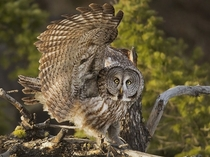 A great gray owl sweeps its wing in Yellowstone National Park in response to a nearby raven