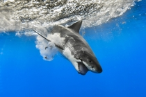 A great white shark dives into the water  Photographed by George Probst