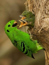 A Green Broadbill and its Babies