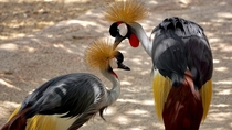 A Grey Crowned Crane caring for its partner