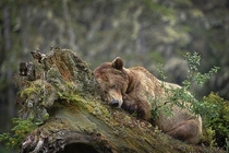 A grizzly rests on a tree in the rain British Columbia Canada Michelle Valberg National Geographic Your Shot