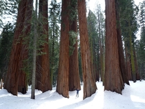 A grove in Sequoia National Park California USA
