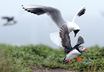 A gull robs an Atlantic Puffin by forcing it to drop its Sand Eels in flight
