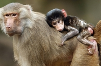 A hamadryas baboon cub sits on the back of its mother
