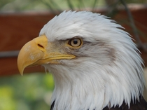 A handsome bald eagle Photo by me