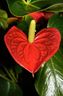 A heart-shaped Red Anthurium
