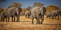 A herd of African Elephants approaches a watering hole near Little Makalolo in Hwange Zimbabwe