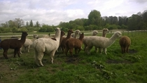 A herd of Alpaca