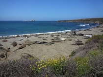 A Herd of Seals relaxing on the California coast