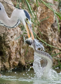 A heron and a snake fighting for a fish